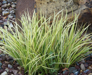 Sweetflag Grass